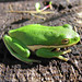 Green Tree Frog - Photo (c) GregTheBusker, some rights reserved (CC BY)