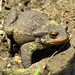 Common Toad - Photo (c) Laurent Lebois ©, some rights reserved (CC BY)