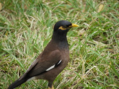 robin(0.0), cinclidae(0.0), blackbird(0.0), animal(1.0), fauna(1.0), common myna(1.0), beak(1.0), bird(1.0), wildlife(1.0),