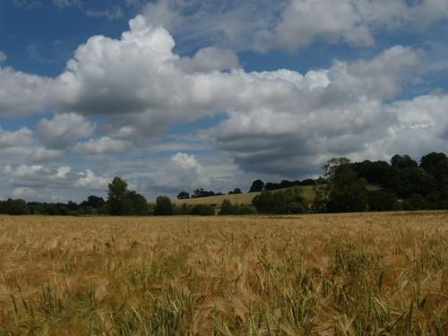 Barley and sky