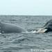 Humpback Whale Family - Puerto Lopez, Ecuador