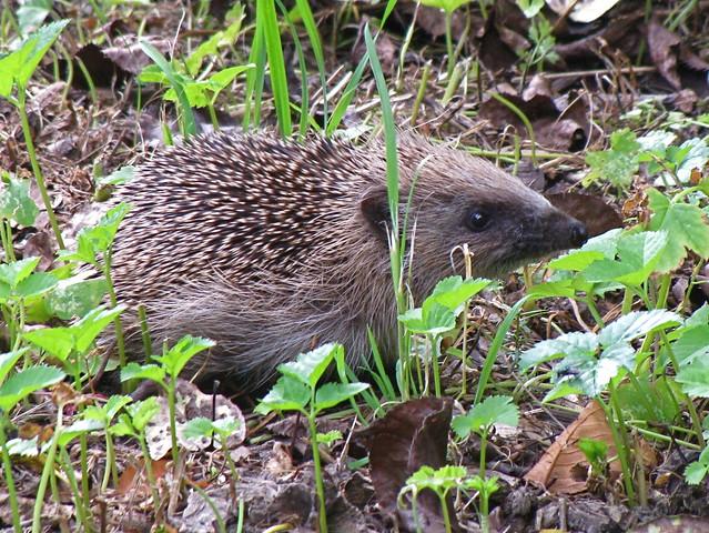 Goal #2 Hedgehog