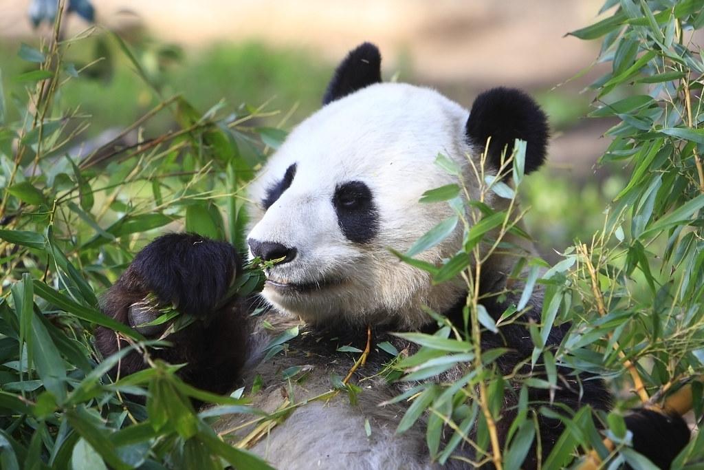 Pandas eating shoots