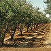 Prune orchard with furrow irrigation