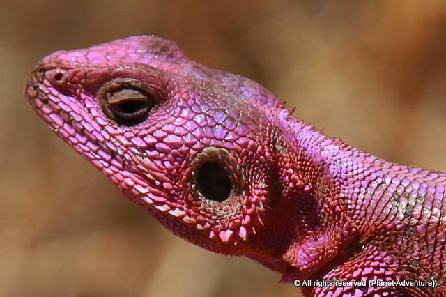 Lizard  - Serengeti National Park - Tanzania - Africa