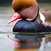 Red-Crested Pochard by DonaldHoffmanPhoto