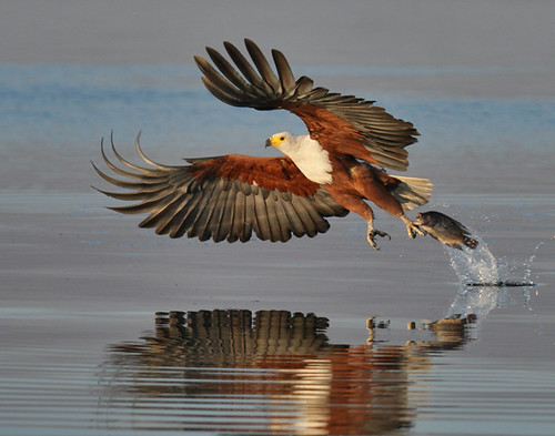 fish eagle with prey