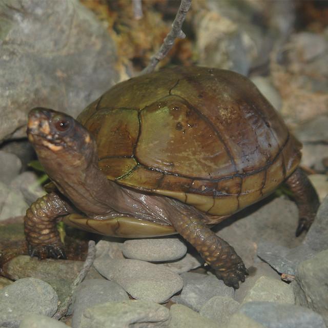 Three Toed Box Turtles Flickr Photo Sharing