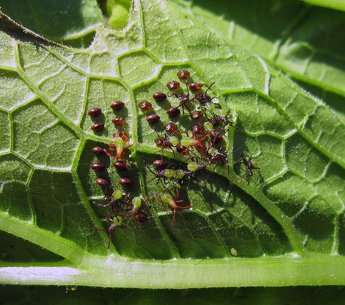 bug insect kansascity squash kansas squashbug tonganoxie anasatristis easternkansas orangetippedleaffootedbug