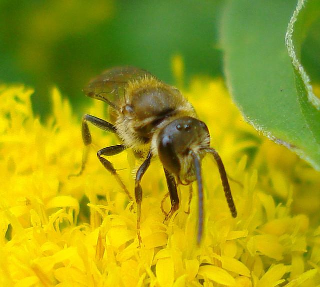 Apidae