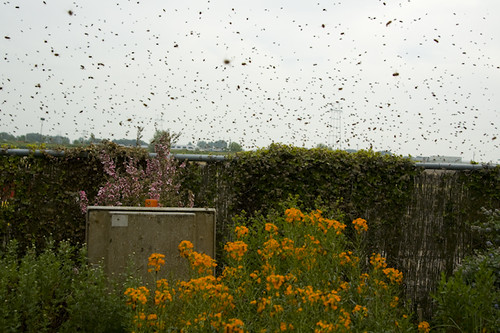 Image for The Buzz About Honeybee Swarm Season