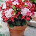 Strawberries & Cream® Gift Hydrangea