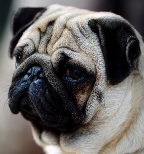 Pugs at Gurgaon Dog show | Flickr - Photo Sharing!