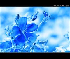 UM SONHO AZUL PARA QUINTA FLOWER -  A BLUE DREAM FOR THURSDAY FLOWER