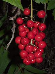 shrub(0.0), acerola(0.0), flower(0.0), aquifoliaceae(0.0), rowan(0.0), aquifoliales(0.0), hawthorn(0.0), berry(1.0), branch(1.0), red(1.0), flora(1.0), produce(1.0), fruit(1.0), food(1.0), schisandra(1.0),