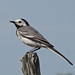 White Wagtail - Photo (c) Roine Johansson, some rights reserved (CC BY-NC-ND)