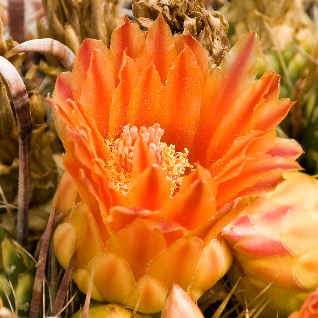 Fish Hook Cactus Flower