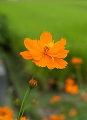 calendula(0.0), prairie(0.0), field(0.0), nectar(0.0), garden cosmos(0.0), annual plant(1.0), flower(1.0), yellow(1.0), plant(1.0), macro photography(1.0), herb(1.0), wildflower(1.0), flora(1.0), close-up(1.0), sulfur cosmos(1.0), meadow(1.0), petal(1.0),