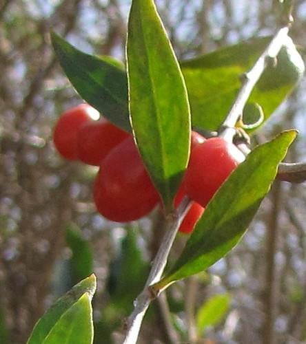 Duke of Argyll's Teaplant  (Lycium barbarum)