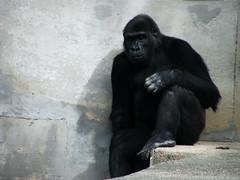 Lepak Gorila