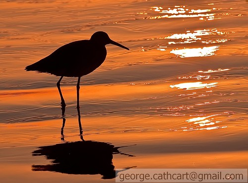 california sunset birds silhouette sandiego sandpiper wading marbledgodwit shorebirds coronadoisland californiabirds birdsilhouette tijuanaestuary photocontesttnc10