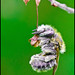 Osmie (Osmia papaveris) by bEOSien87