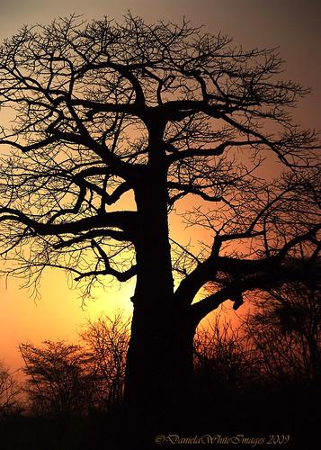 africa sunset sun tree silhouette tanzania tramonto safari explore albero obra gettyimages ruaha pleasedonotusewithoutmypermission danielawhite dwimages explorejuly302009 ©danielawhiteimages