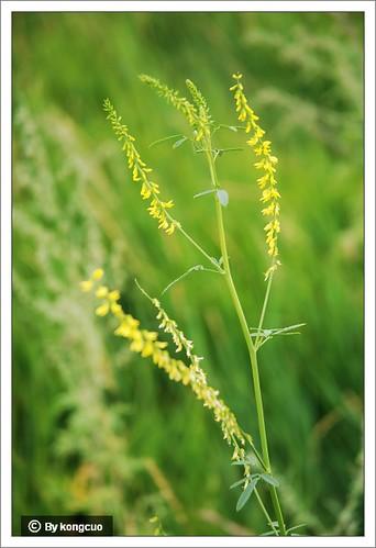 内蒙古植物照片-草木犀,豆科草木犀属