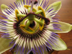 giant granadilla(0.0), plant stem(0.0), flower(1.0), yellow(1.0), purple passionflower(1.0), plant(1.0), macro photography(1.0), wildflower(1.0), flora(1.0), close-up(1.0), passion fruit(1.0), petal(1.0),
