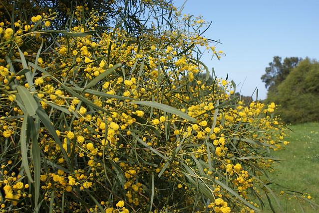 Header of Acacia saligna