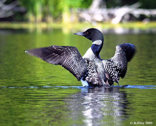 Northern Loon on the Mill Pond