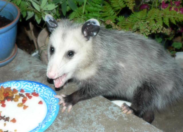 Possum smile | Flickr - Photo Sharing!