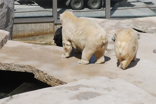 Eisbären Larissa und Vitus in Karlsruhe