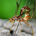 Giant Ichneumonid Wasps - Photo (c) Evan Kane, some rights reserved (CC BY-NC-ND)