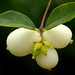 snowberry - Photo (c) James Gaither, some rights reserved (CC BY-NC-ND)