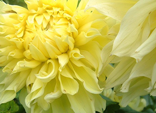 Light Yellow Dahlias