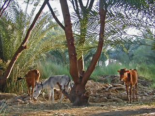 La campagne à Medinet Habou (Egypte)