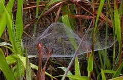 A dome web