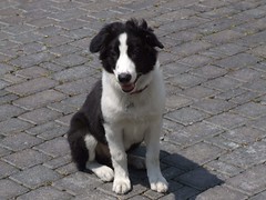 russo-european laika(0.0), east siberian laika(0.0), border collie(1.0), dog breed(1.0), animal(1.0), dog(1.0), pet(1.0), karelian bear dog(1.0), english shepherd(1.0), carnivoran(1.0),