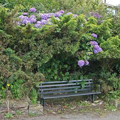 Bench and hydrangeas