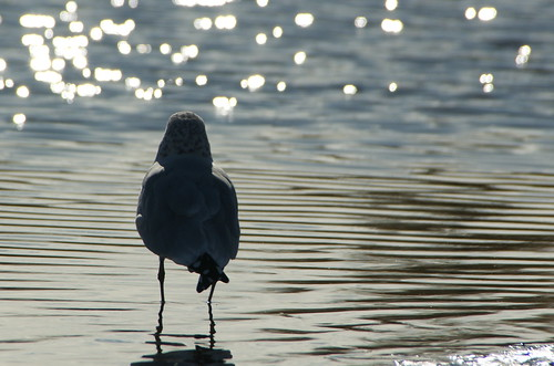Back Lit Gull