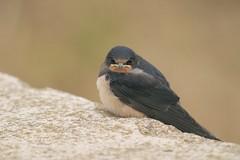 animal, wing, fauna, finch, close-up, swallow, beak, bird, wildlife,