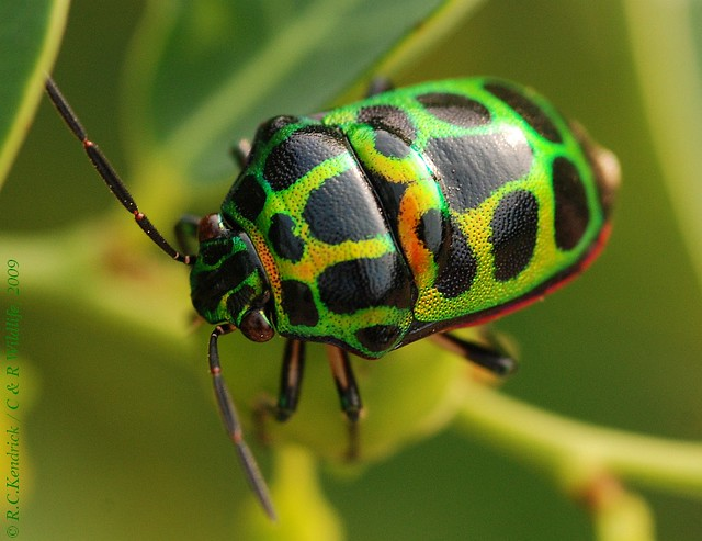 other colorful bugs like me - a gallery on Flickr
