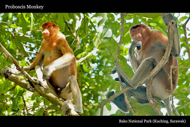 016proboscis_monkey3
