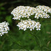 Common Yarrow - Photo (c) Steve Guttman, some rights reserved (CC BY-NC-ND)