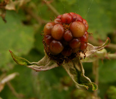 berry, branch, leaf, tree, macro photography, flora, fruit, cloudberry,