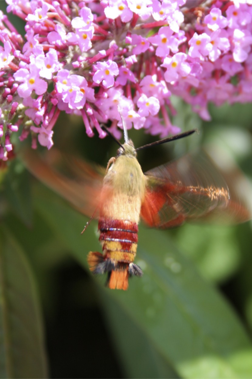 ...and coppery clear wings