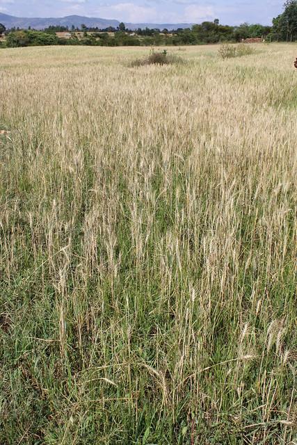 Ornamental Grasses Kenya : Http better lawn care rust on kentucky bluegrass sod