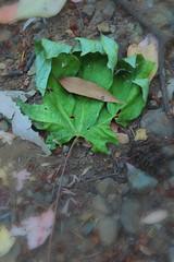 Dead Leaf Eating Dying Leaf