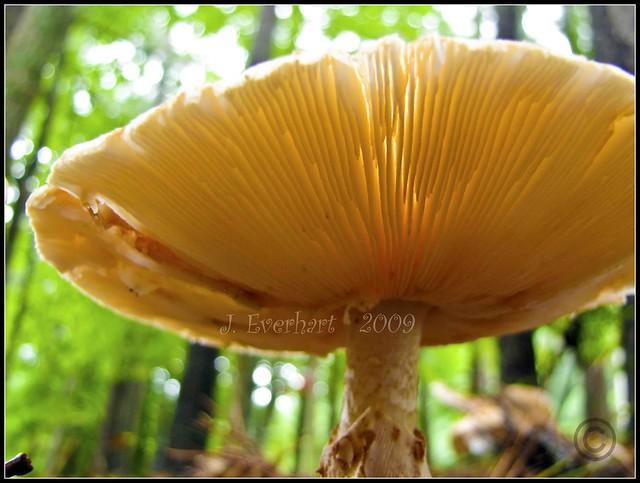August Shroom (Giant Mushroom)